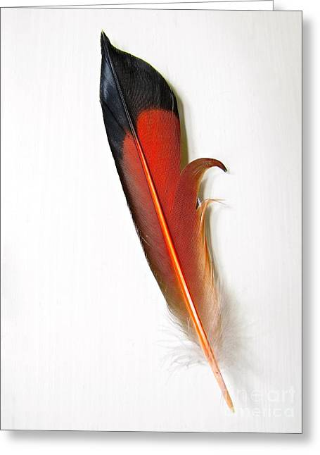 Northern Flicker Tail Feather Greeting Card by Sean Griffin
