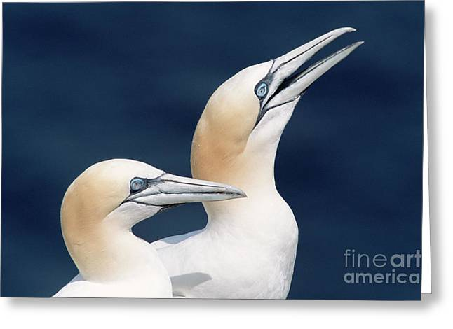 Northern Gannets Newfoundland Greeting Card
