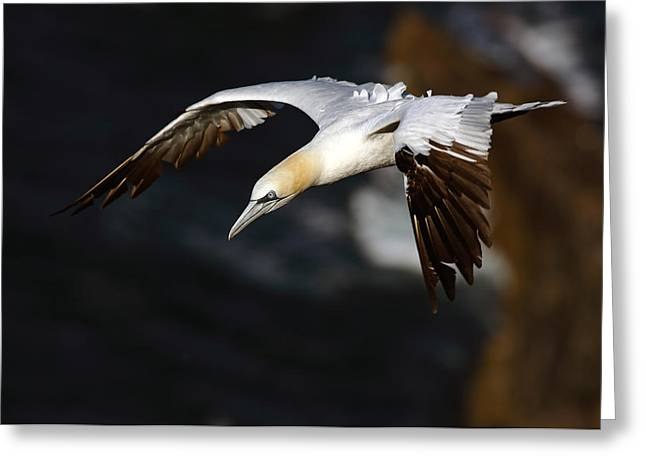 Northern Gannet Greeting Card
