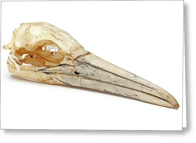 Northern Gannet Skull Greeting Card