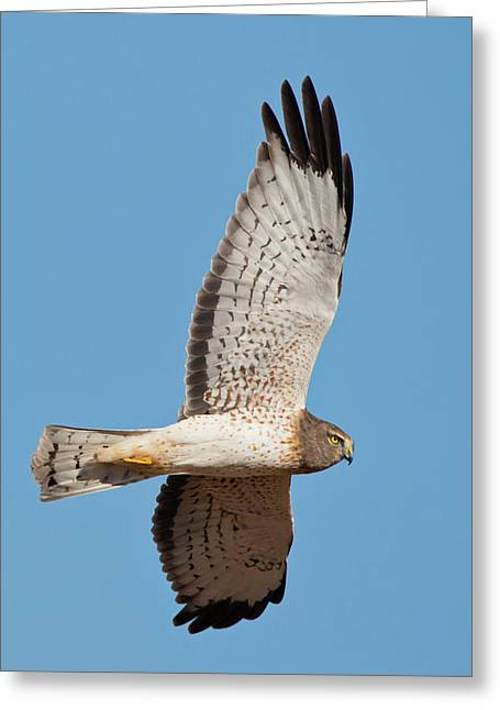 Northern Harrier ( Circus Cyaneus Greeting Card by Larry Ditto