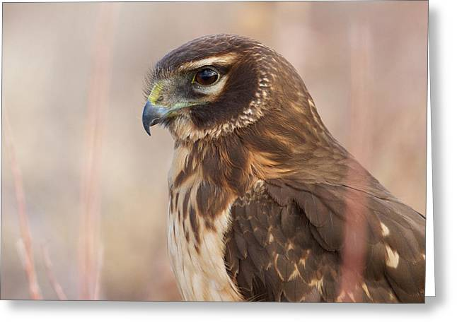 Northern Harrier Female Greeting Card