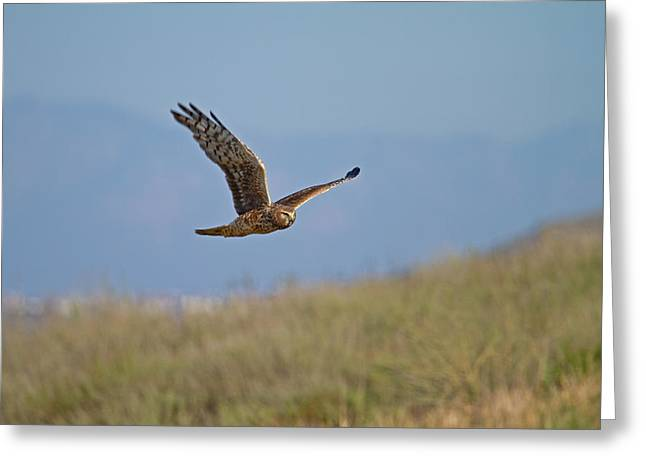 Northern Harrier In Flight Greeting Card by Duncan Selby