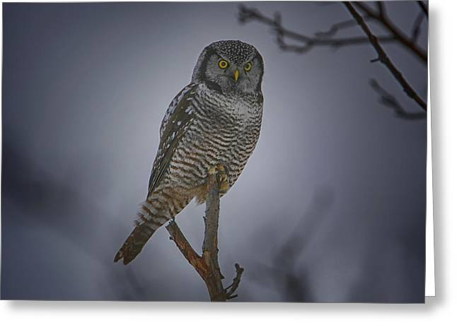 Northern Hawk Owl 2 Greeting Card