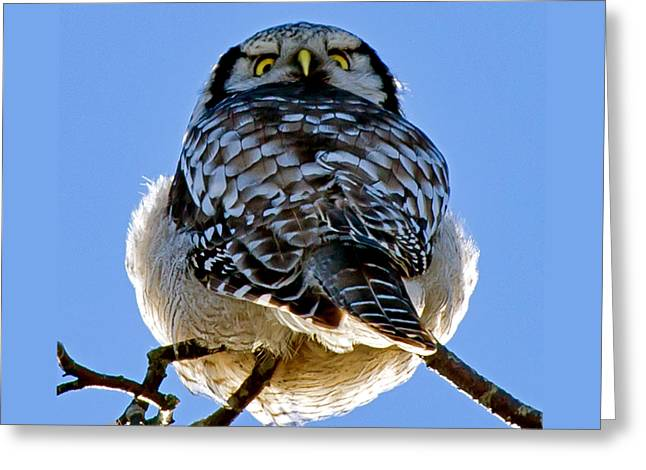 Northern Hawk Owl Looks Around Greeting Card