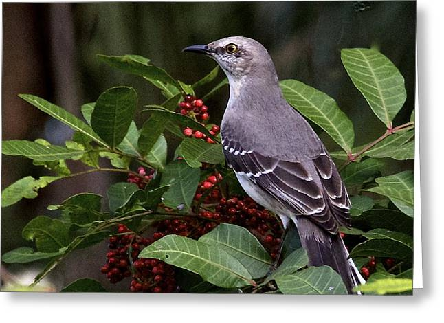 Northern Mocking Bird Greeting Card