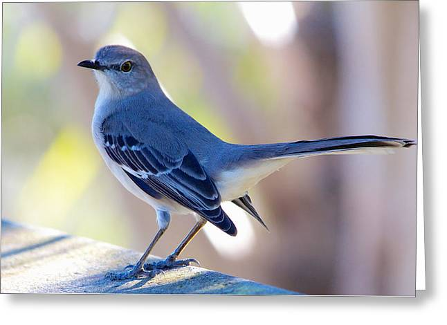 Northern Mockingbird - Moqueur Polyglotte - Mimus Polyglottos Greeting Card by Nature and Wildlife Photography