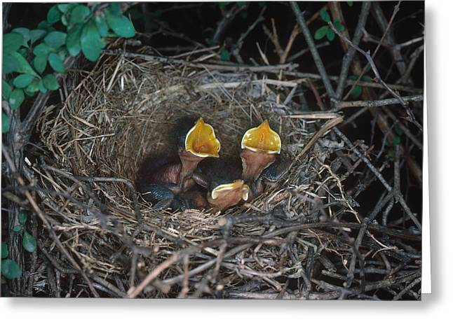 Northern Mockingbird Nestlings Greeting Card