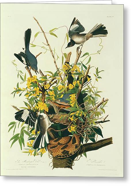Northern Mockingbirds Greeting Card by Natural History Museum, London/science Photo Library