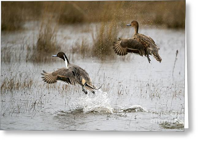 Northern Pintail Flight Greeting Card