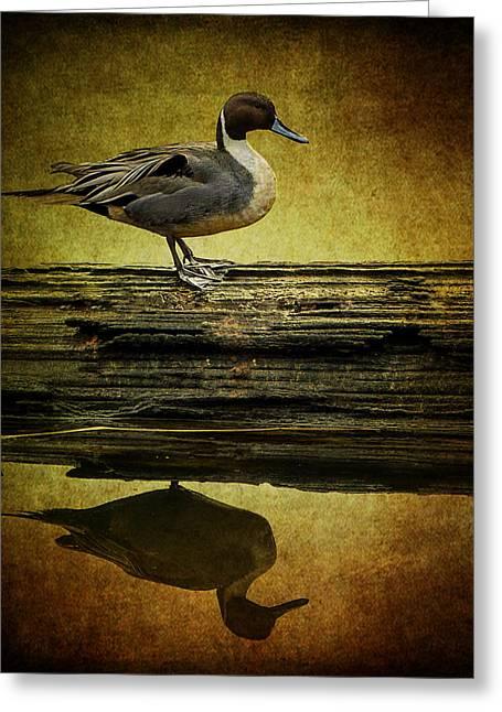 Northern Pintail Duck Greeting Card by Jordan Blackstone