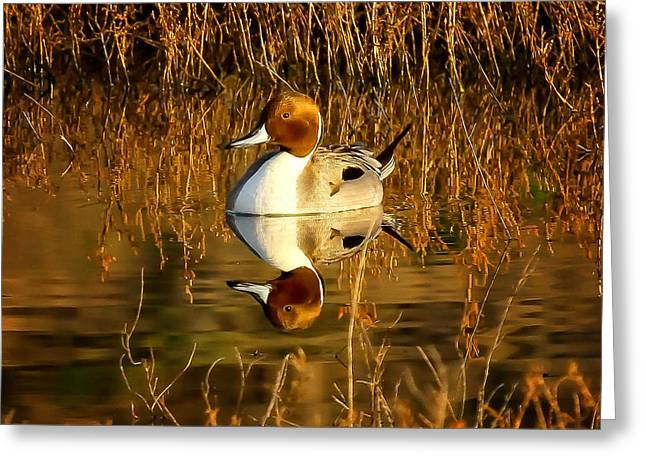 Northern Pintail Duck Greeting Card by Thomas Kaestner