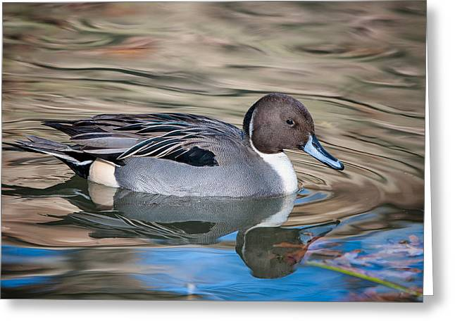 Greeting Card featuring the photograph Northern Pintail by Tyson and Kathy Smith