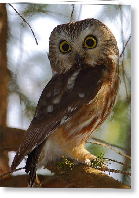 Northern Saw-whet Owl II Greeting Card