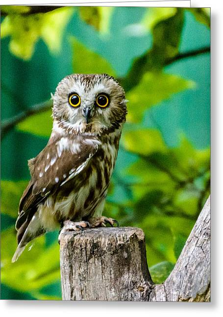 Northern Saw-whet Owl Greeting Card by Randy Scherkenbach