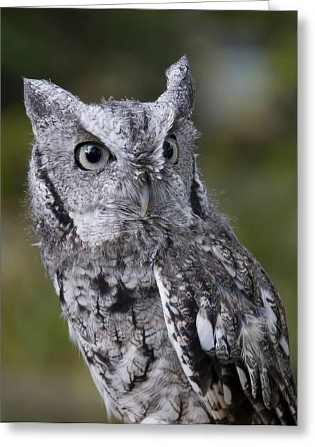 Northern Screech Owl Greeting Card