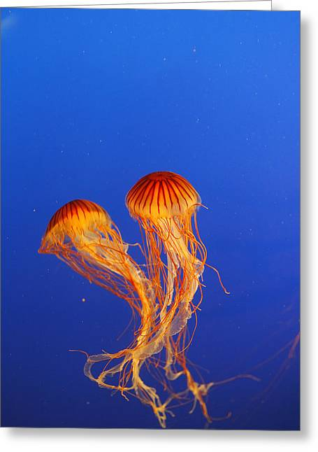 Northern Sea Nettles Greeting Card