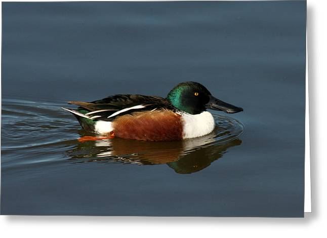 Greeting Card featuring the photograph Northern Shoveler by Bob and Jan Shriner