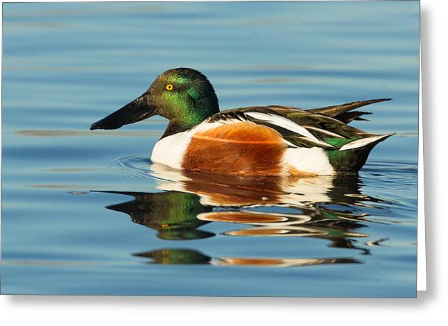 Northern Shoveler Reflections Greeting Card