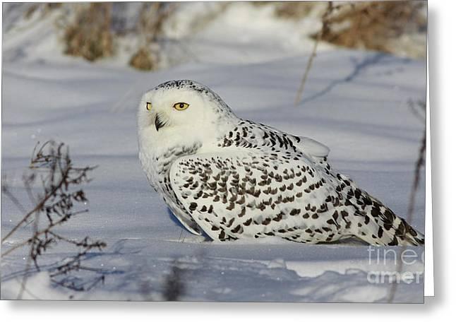 Northern Spirit- Snowy Owl Greeting Card