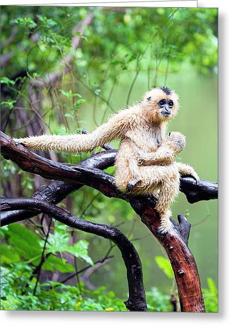 Northern White-cheeked Gibbons Greeting Card by Pan Xunbin
