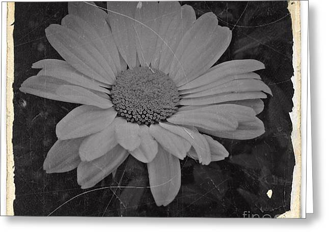 Nostalgic Daisy Bw 2 Greeting Card by Chalet Roome-Rigdon