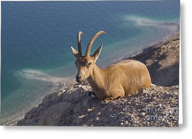 Nubain Ibex Ein Gedi Dead Sea Israel Greeting Card