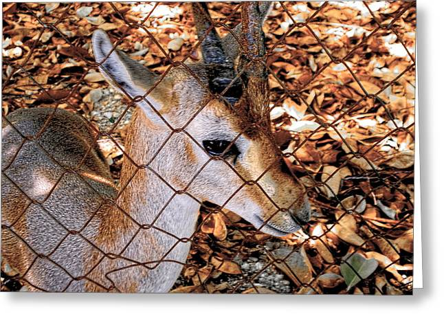 Nubian Ibex Juvenile Greeting Card