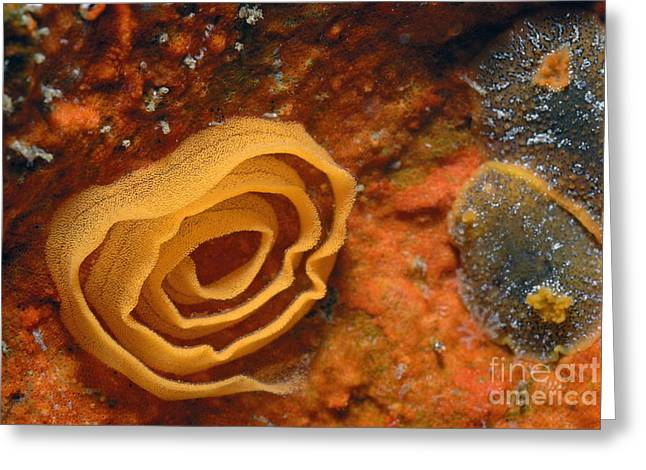 Nudibranches Eggs Greeting Card by Sami Sarkis
