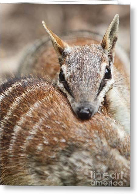 Numbats Greeting Card