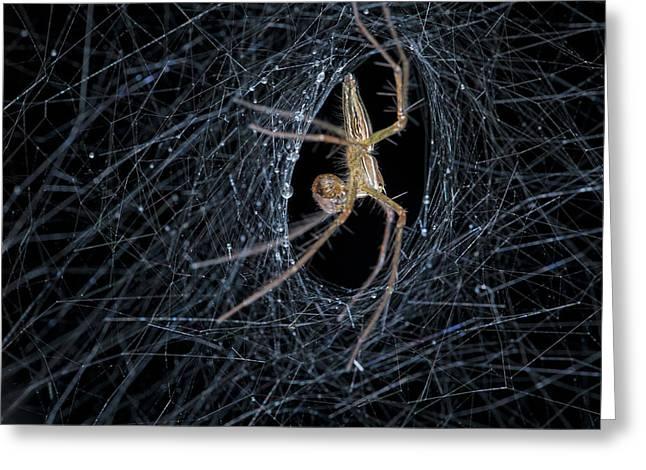 Nursery Web Spider On Its Nursery Web Greeting Card by Melvyn Yeo