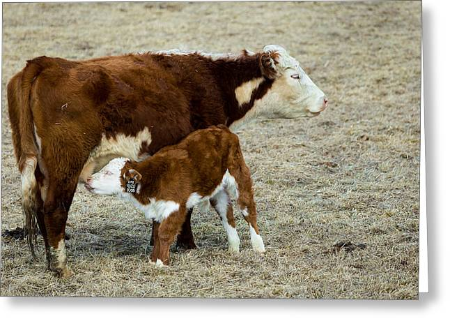 Nursing Calf Greeting Card