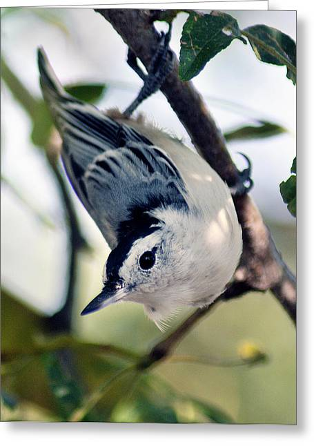 Nuthatch 623 Greeting Card