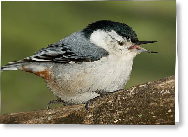 Nuthatch Greeting Card by Bill Wakeley