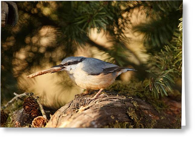 Nuthatch Collecting Nesting Material Greeting Card