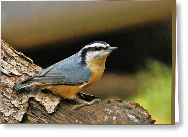 Greeting Card featuring the photograph Nuthatch Pose by VLee Watson