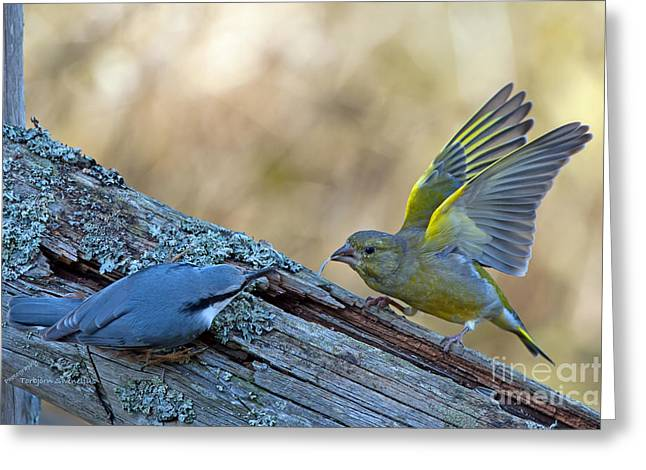 Nuthatch Vs Greenfinch Greeting Card by Torbjorn Swenelius