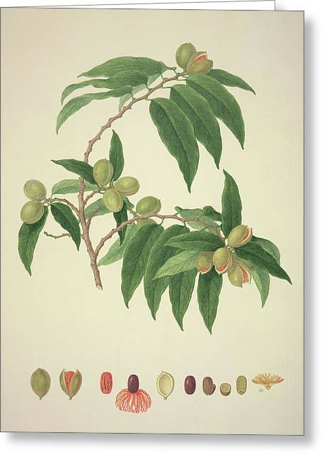 Nutmeg Plant Greeting Card by Natural History Museum, London/science Photo Library