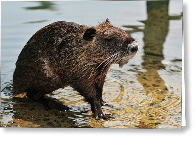 Nutria Greeting Card by Photostock-israel