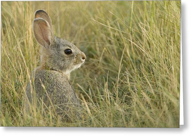 Nuttalls Cottontail, Sylvilagus Greeting Card by Grambo Photography and Design Inc.