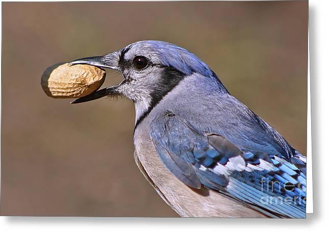 Nutty Bluejay Greeting Card