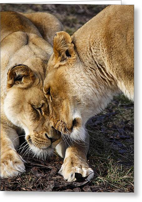 Nuzzling Lions Greeting Card by Jill Bell