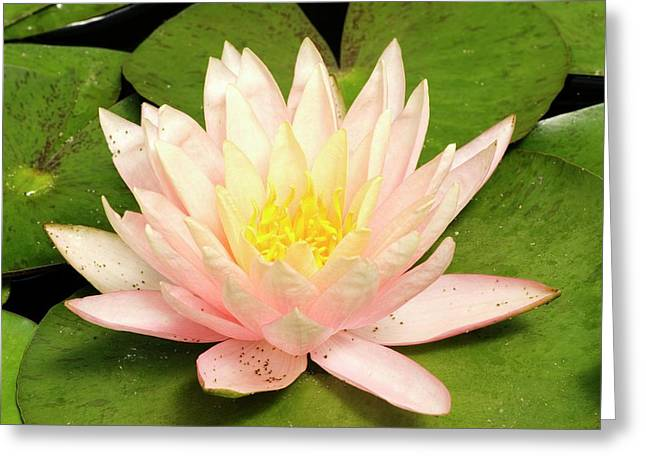 Nymphaea 'cypriana' Greeting Card