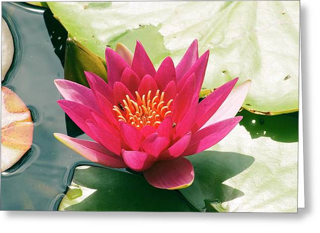 Nymphaea 'escarboucle' Greeting Card