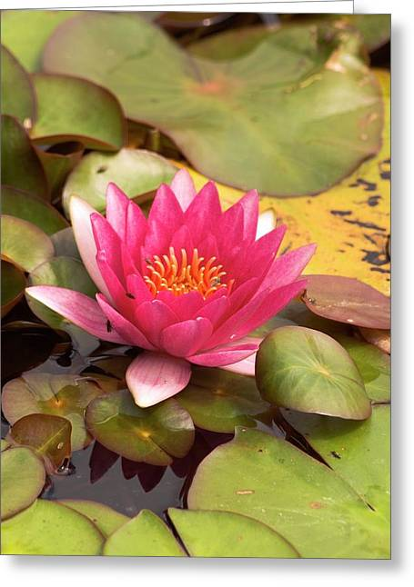 Nymphaea 'gloriosa' Greeting Card by Adrian Thomas