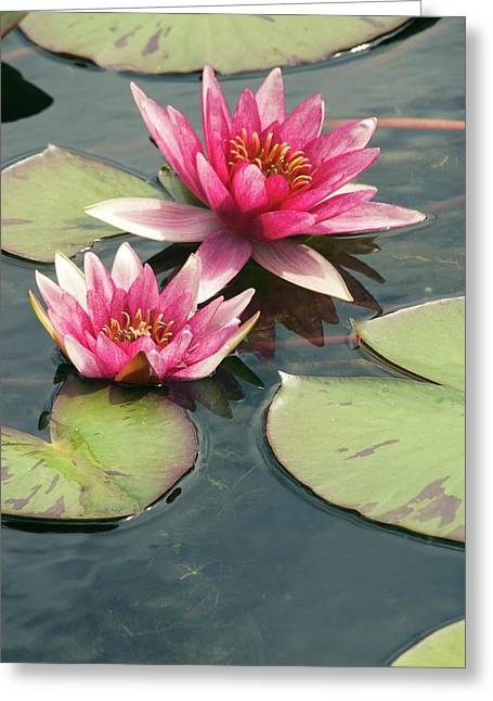 Nymphaea 'syrius' Greeting Card by Adrian Thomas
