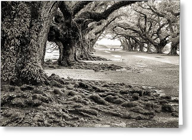 Oak Alley Greeting Card by William Beuther