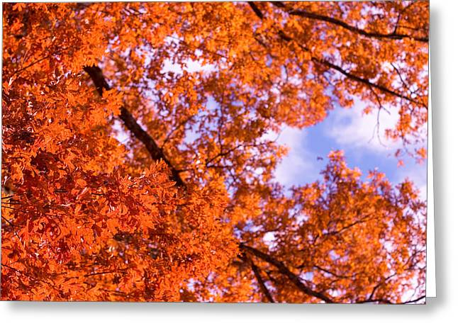 Oak In Evening Sun Greeting Card by Denise Beverly
