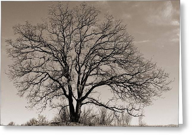 Greeting Card featuring the photograph Oak In Sepia by Lula Adams