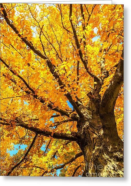 Oak In The Fall Greeting Card